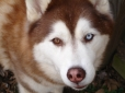 Siberian Husky, 1.5 years, Red